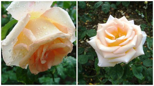Роза сорт Эмми