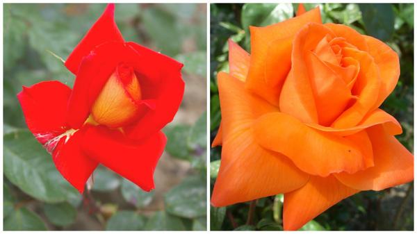 Роза сорт Las Vegas