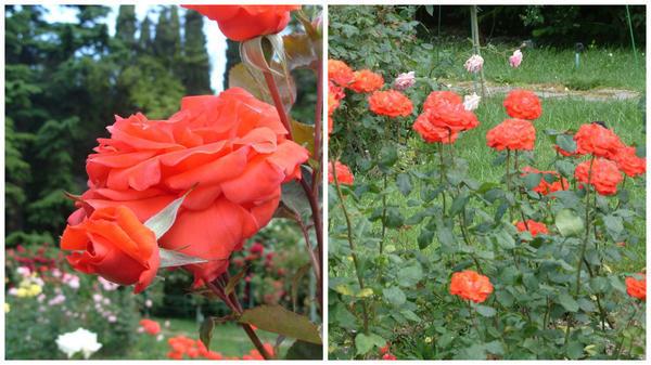 Роза сорт Angelique