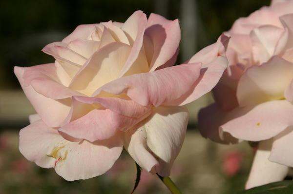 Роза сорт Pristine в октябре, ЮБК