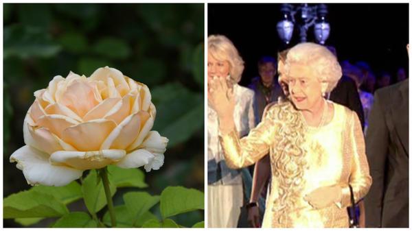 Роза сорт Diamond Jubilee, бриллиантовый юбилей королевы Великобритании, фото сайта tvkultura.ru