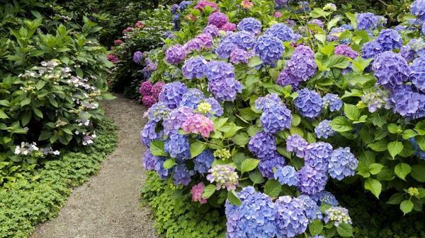 Цветы гортензия