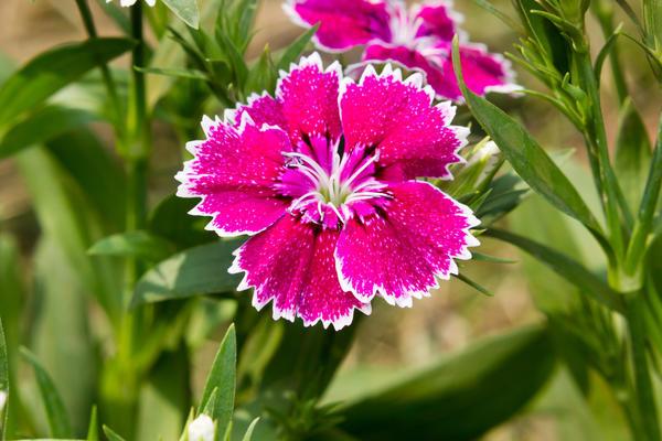 Гвоздику нежно любят садоводы, селекционеры и коллекционеры