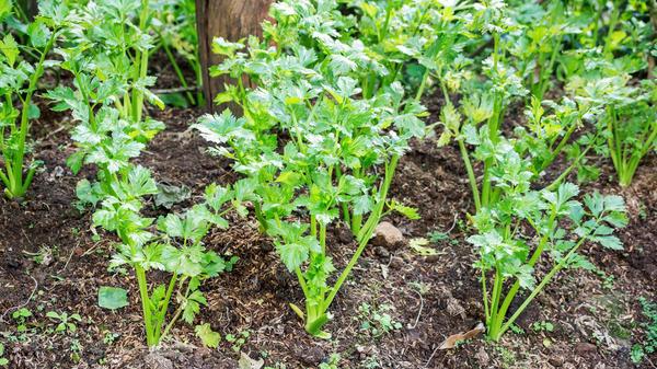 При выращивании сельдерея разных сортов уход за растениями тоже должен быть различным