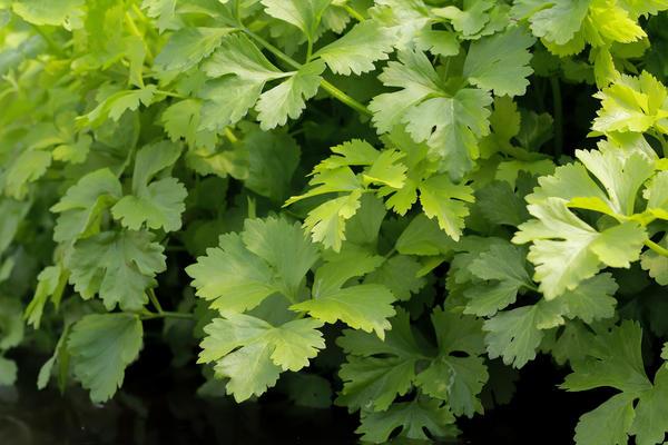 Листовой сельдерей культивируют для получения витаминизированных ароматных листьев