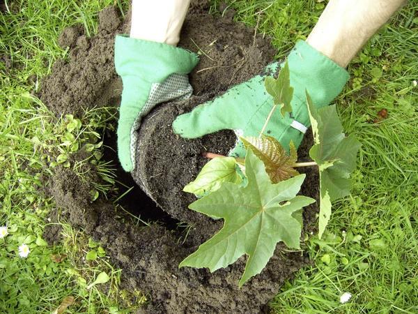 Высадка рассады клещевины в открытый грунт. Фото с сайта www.ideesmaison.com