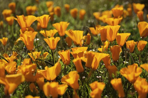 Эшшольция калифорнийская очень похожа на дикий мак