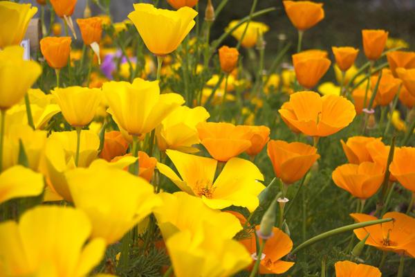 Созерцать красоту цветков эшшольции можно лишь солнечным днем