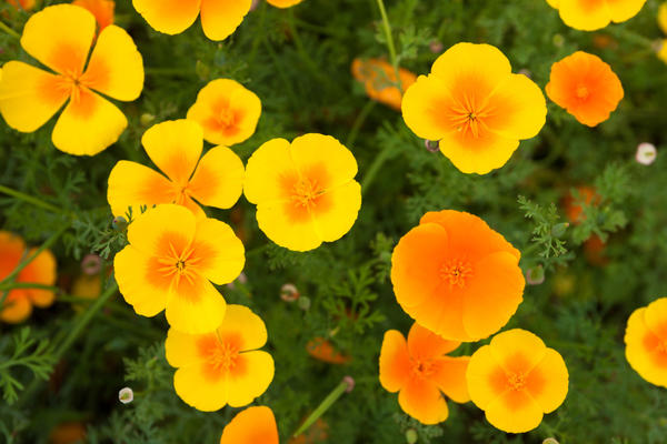 Цветки эшшольции открываются только в солнечную погоду