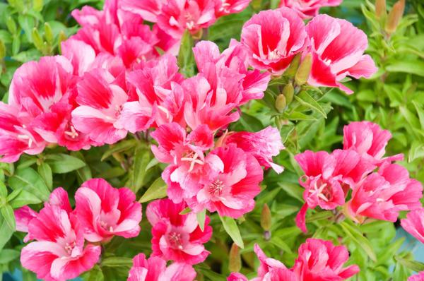 Годеция полюбилась садоводам за яркую окраску больших цветков и продолжительное цветение