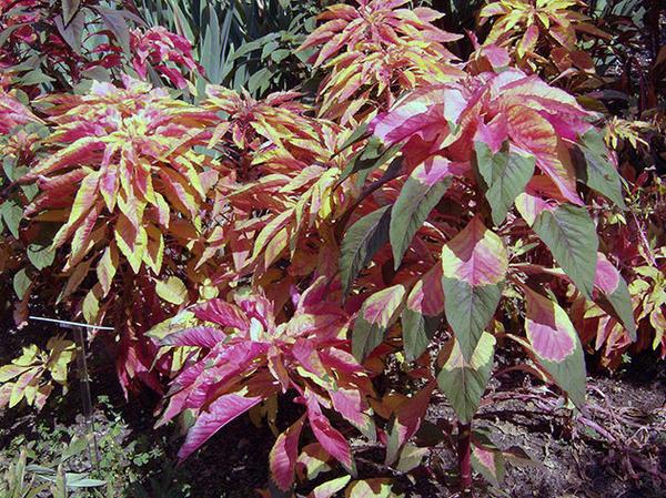 Листья амаранта могут быть трехцветными. Фото с сайта floristics.info