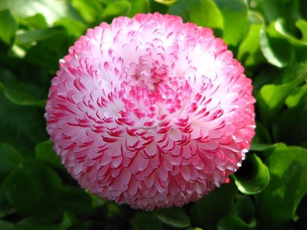 Маргаритки цветут с ранней весны до поздней осени. Фото с сайта svistanet.com