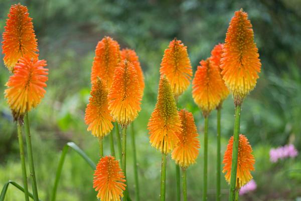 Яркие соцветия тритомы гордо возвышаются над клумбой на прочных цветоносах