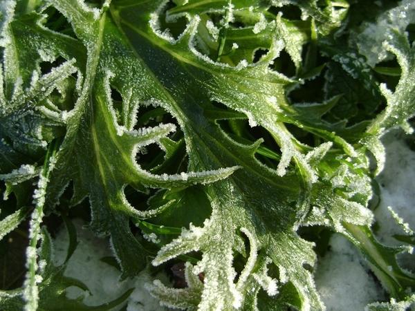 Возвратные заморозки опасны для рассады