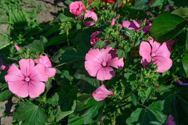 Цветы на клумбах