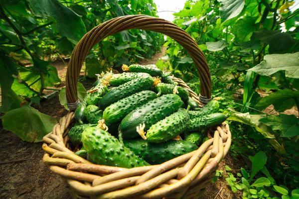 Скороспелость определяется количеством дней от полных всходов до первого сбора урожая