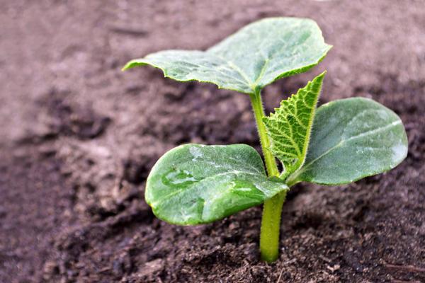 Учитывайте срок выращивания до высадки в теплицу