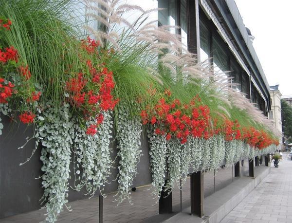 Дихондра очаровательна в компании с другими ампельными растениями