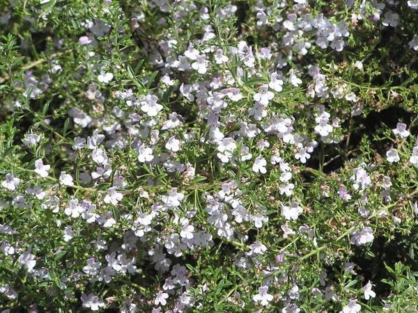 Сцевола приятная порадует обильным цветением