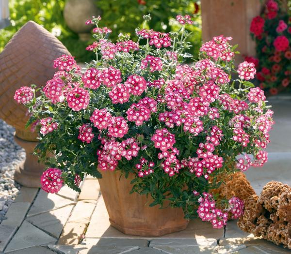 Вербена порадует длительным цветением