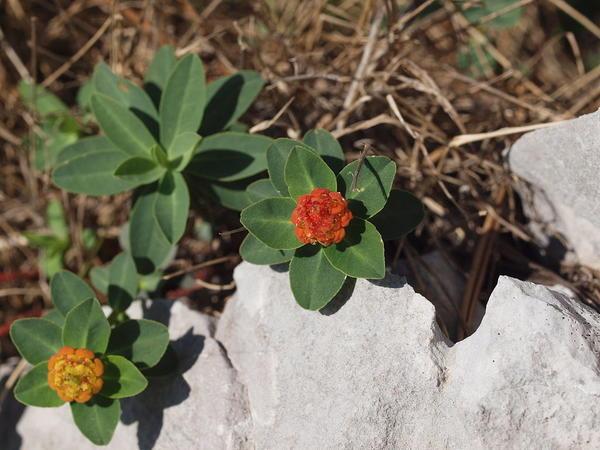 Цветы молочай