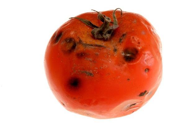 Пораженный фитофторой плод