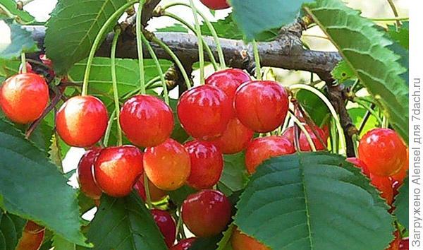 Сорт черешни орловская розовая
