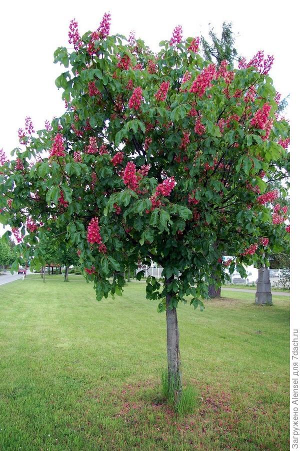 Каштан  конский с красными соцветиями
