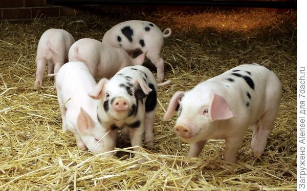 Свиной навоз:  поросята в хлеву