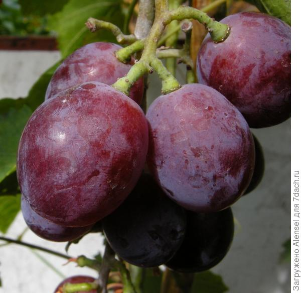 Сорт винограда Нина