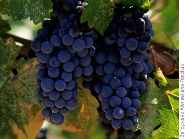 Сорт винограда Изабелла