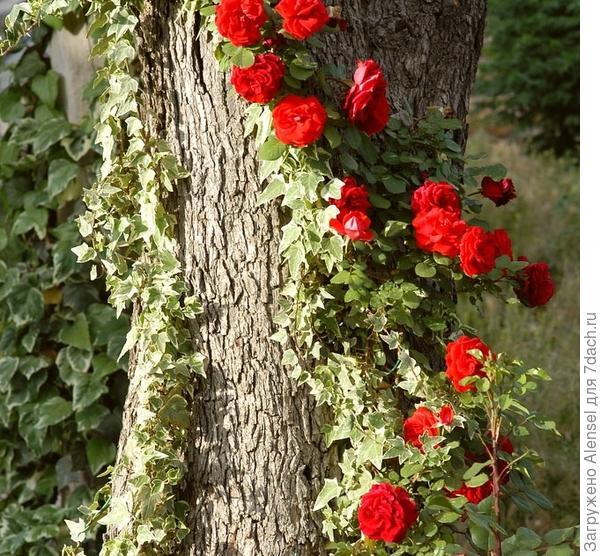 Вьющиеся растения на даче