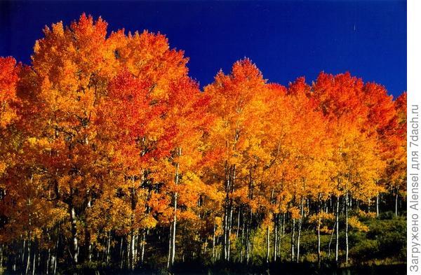 Осина осенью