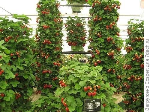 Земляника садовая - выращивание уход срок посадки