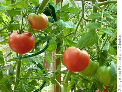 томат Грунтовый грибовский