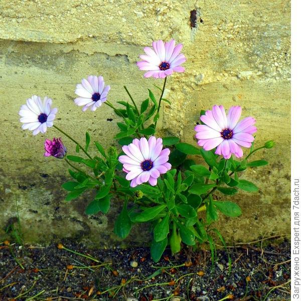 Цветы диморфотеки