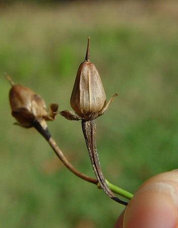 посадка и размножение квамоклита