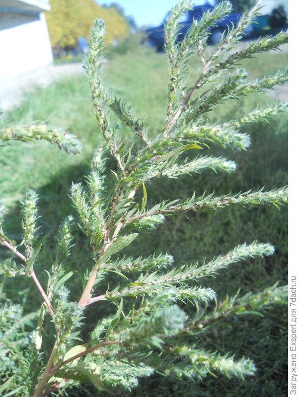 Кохия густоцветковая - Kochia densiflora