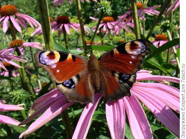 эхинацея - любимица бабочек