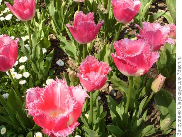 Удивительные бахромчатые тюльпаны