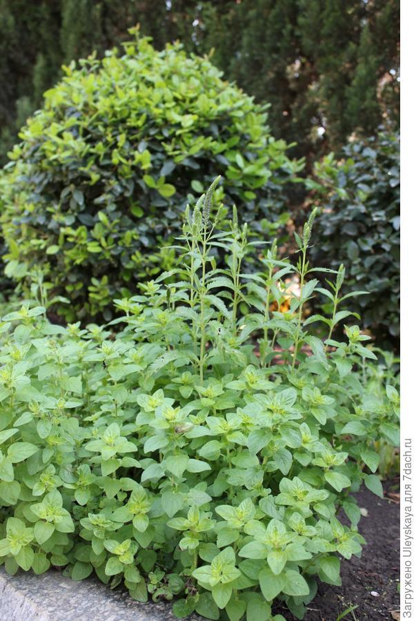 Горная трава, приносящая радость или материнка