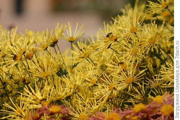 Черенкование хризантем
