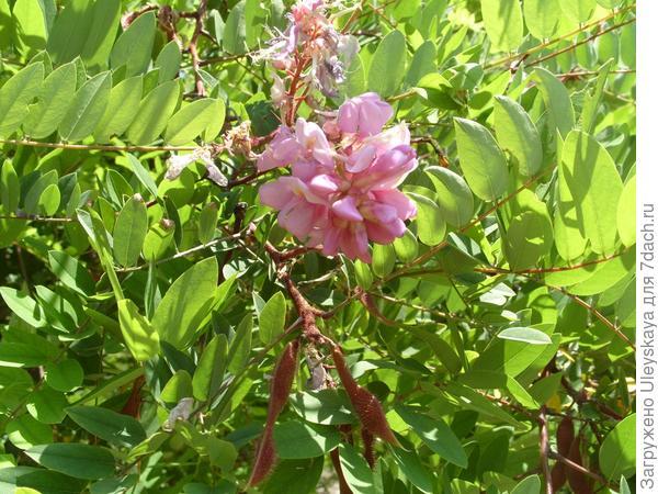 Цветки робинии щетинистоволосистой стали, спустя месяц от начала цветения, немного светлее