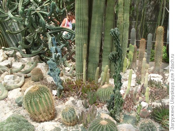 Myrtillocactus geometrizans, Cereus peruvianus 'Monstrosus', Rooksbya euphorbioides