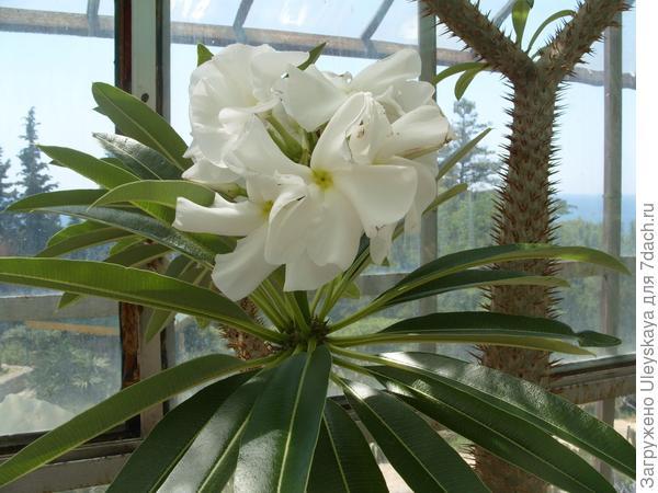 Цветки пахиподиума