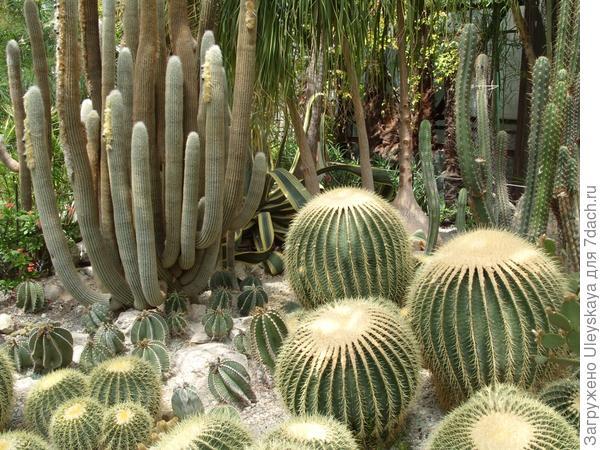 Espostoa lanata, Echinocactus grusonii