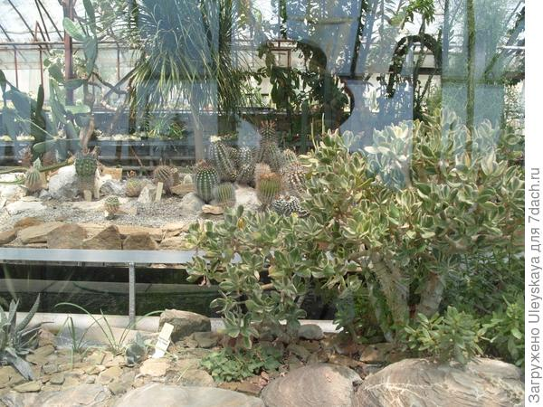 Crassula arborescens