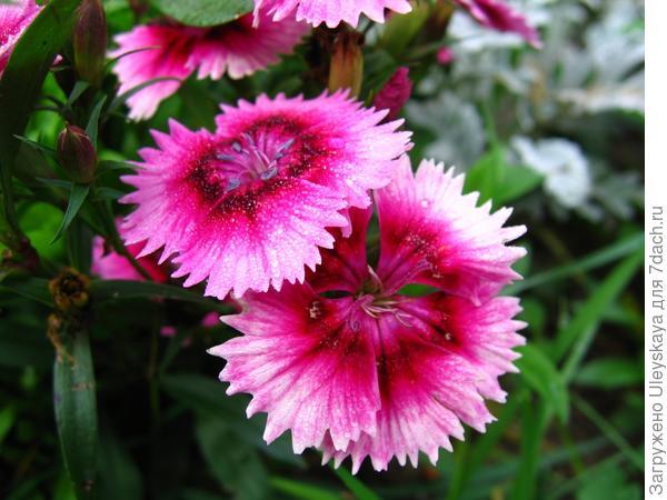 Цветёт гвоздика турецкая