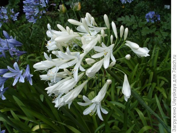 Белоцветковые агапантусы особенно торжественны