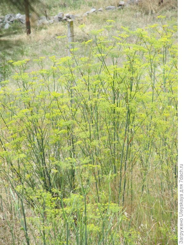 Фенхель обыкновенный в окрестностях пос. Никиты (Южный берег Крыма)